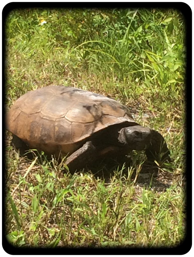 turtle siting on the legacy trail